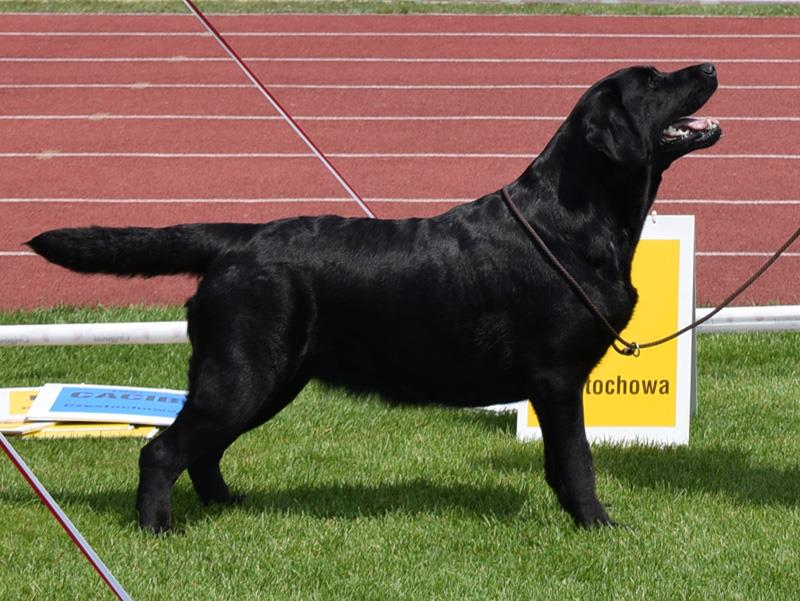International Dog Show in Częstochowa 22.07.2017 - champion class, 1st, CAC
