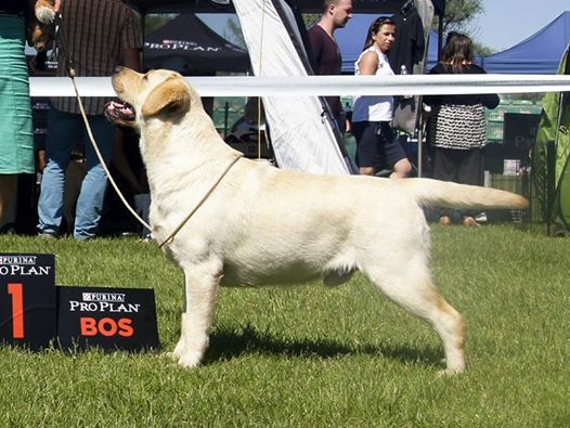 National DOg Show in Iłża 28.05.2017 - intermediate class, 1st, CAC, Best Male, BOS