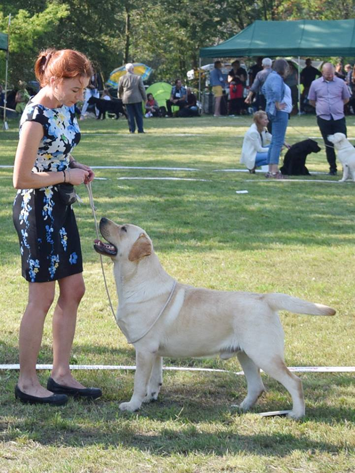 Retriever Club Show in Poland 09.09.2017 - open class, 1st, CAC