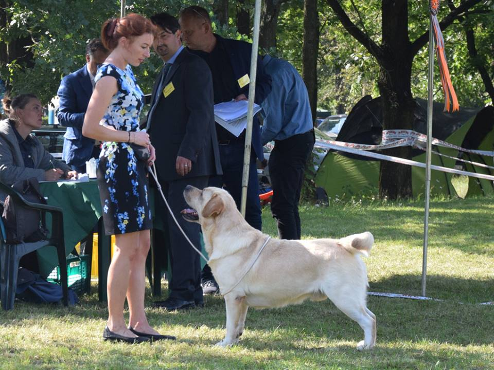 Retriever Club Show in Poland 09.09.2017 - champion class, 2nd, excellent
