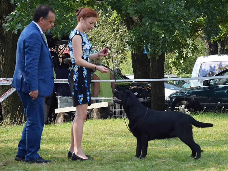 Retriever Club Show in Poland 09.09.2017 - junior class, 4th, excellent