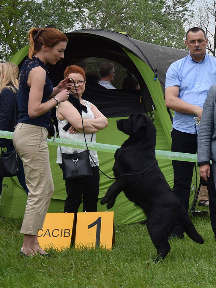 International Dog Show in Łódź 14.05.2017 - open class, 1st, CAC, Cacib, Best Female, BOS