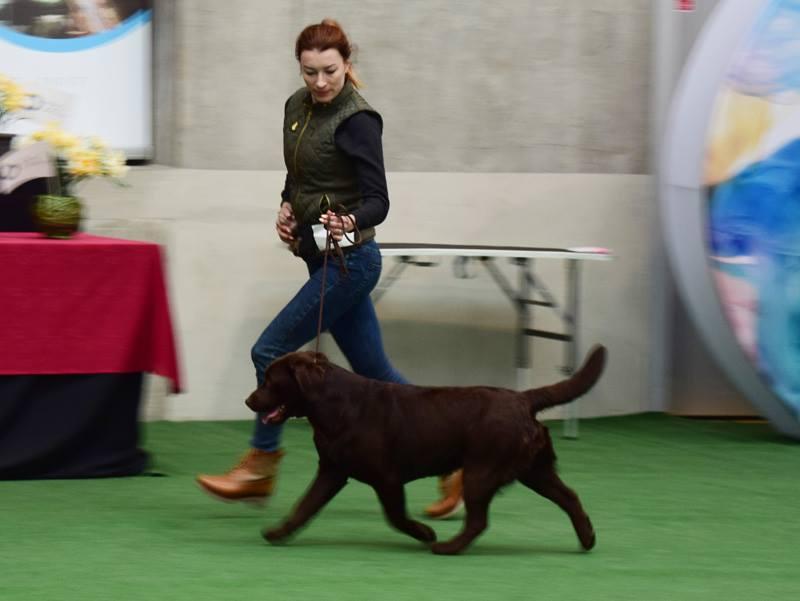 National Dog Show in Opole 21.04.2017 - junior class, 1st, Junior Winner, BOB Junior, BIS Junior I