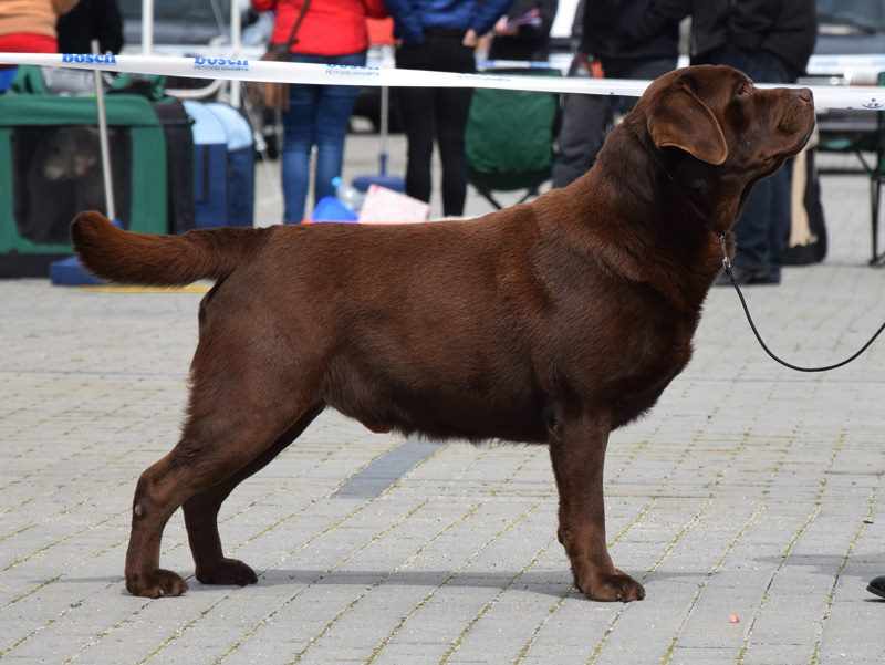 International Dog Show in Opole 22.04.2017 - champion class, 3rd, excellent