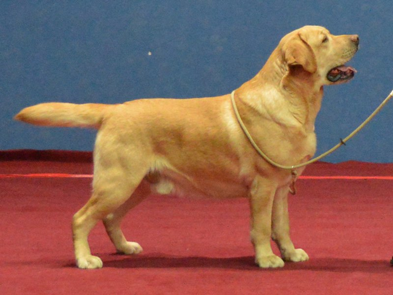 National DOg Show in Bydgoszcz 11.02.2017 - open class, 1st, CAC