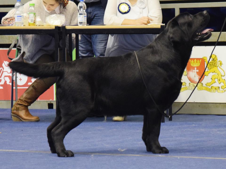 National Dog Show in Gdańsk 07.01.2018 - intermediate class, 1st, CAC, Best Male = Polish Champion