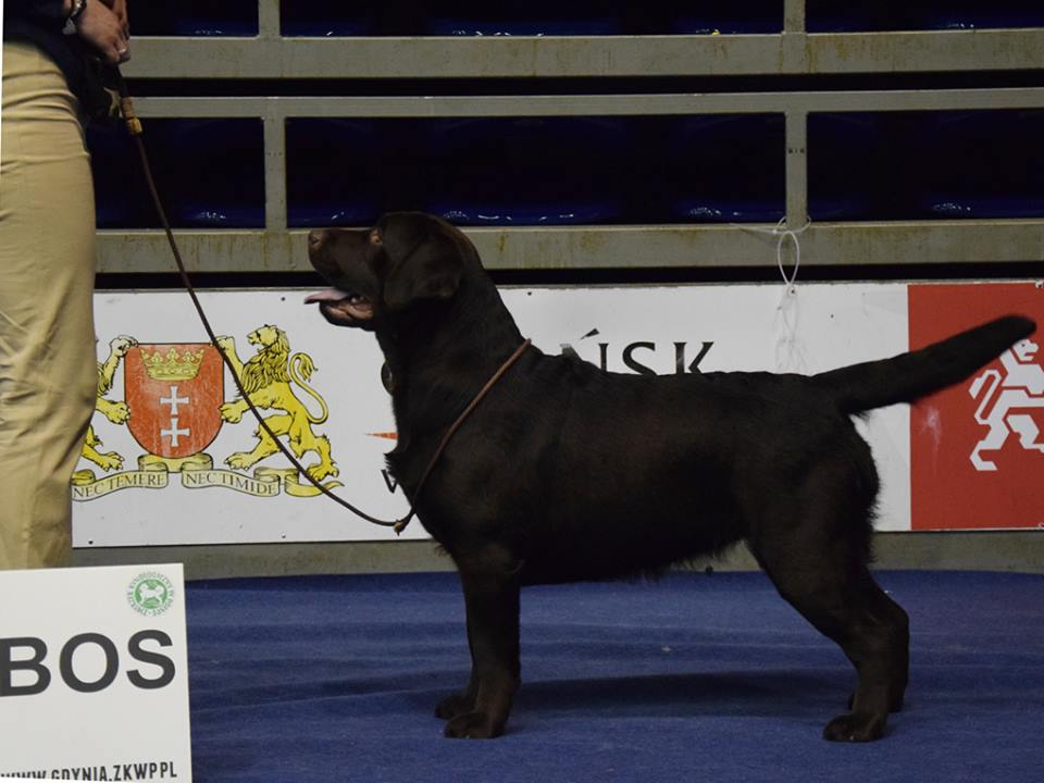 National Dog Show in Gdańsk 07.01.2018 - open class, 1st, CAC, Best Female, BOS = Polish Champion