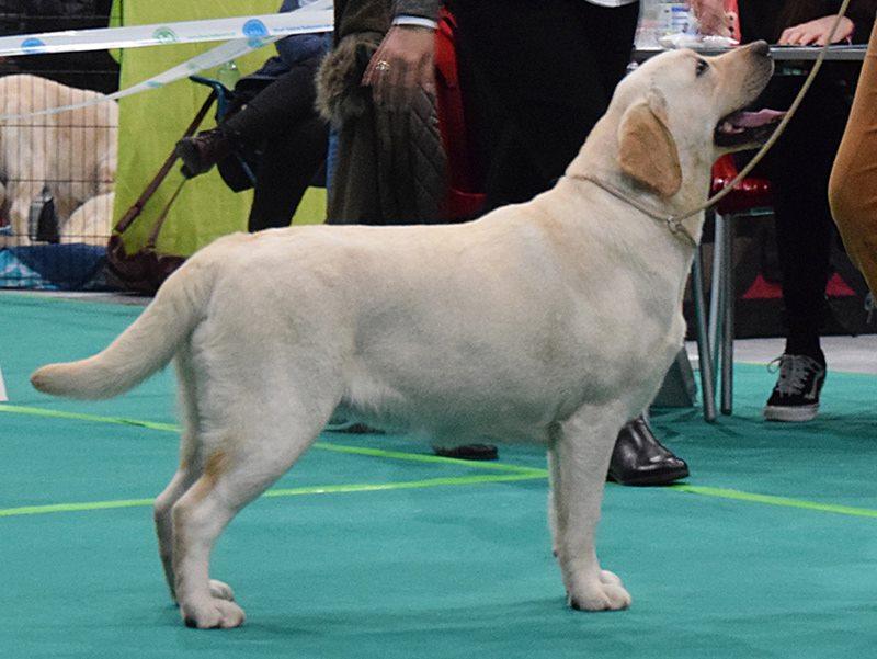 International Dog Show in Bydgoszcz 03.02.2018 - junior class, 2nd, excellent