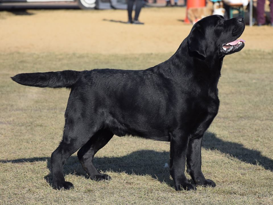 National Dog Show in Choceń 11.03.2018 - open class, 1st, CAC