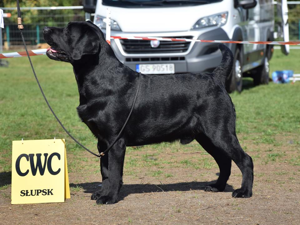 National Dog Show in Słupsk 02.09.2018 - intermediate class, 1st, CAC, Best Male, BOS