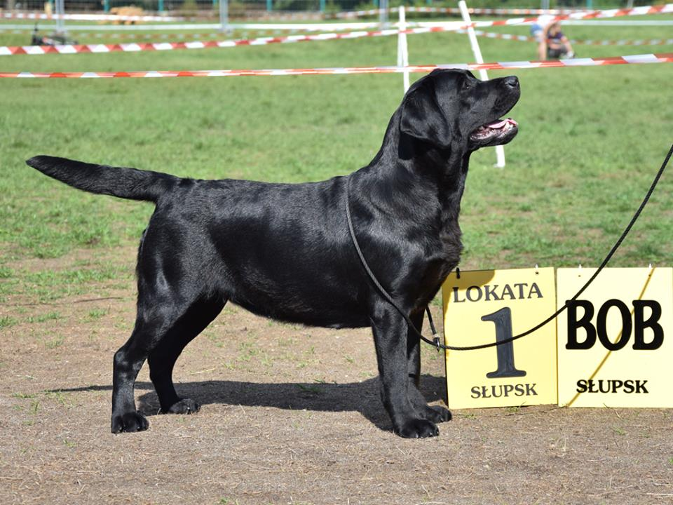 National Dog Show in Słupsk 02.09.2018 - intermediate class, 1st, CAC, Best Female, BOB, BOG III